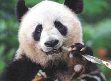 La Cina dei panda giganti e della cucina dai 6mila piatti